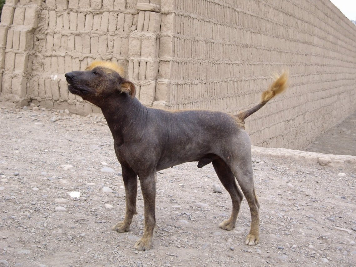 Peruvian dog